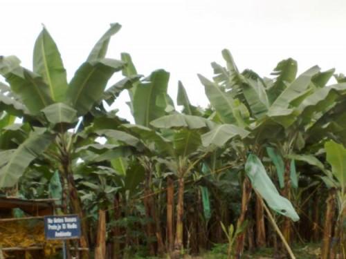 bananeiros