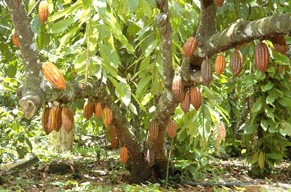 Allerta Cacao Nel Mondo Grido Dallarme Dei Coltivatori